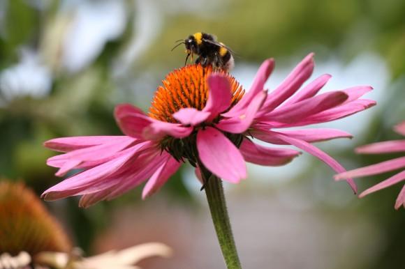 Hummeln_und_Blüten