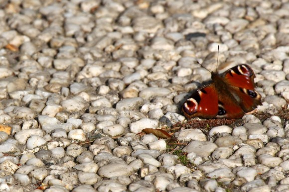 17|52|13 papillon