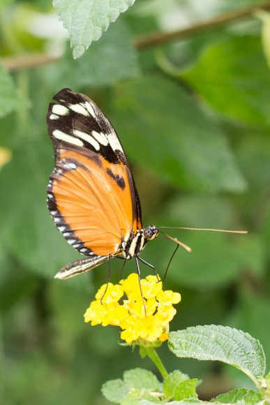 Schmetterling1