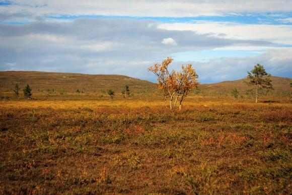 Bergbirken im Tundra-Gebiet des Nationalparks