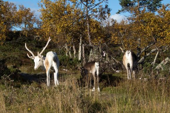 35 | 52 | 13 Rentiere im Pallas-Yllästunturi-Nationalpark